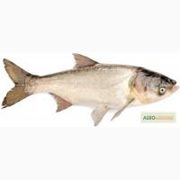 Живая рыба Толстолобик 2, 5-3 кг