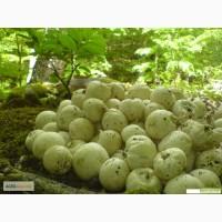 Гриб веселка, настойка гриба веселки
