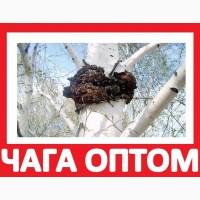 ᐉ 2017 ЧАГА ГРИБ Купить на Экспорт Киев! Продам Чагу Берёзовую Цена Оптом на Экспорт Квота