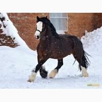 Куплю коней живим весом