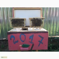 БДЖОЛОМАТКИ КАРПАТКА 2018 Плідні матки (Бджолині матки, Пчеломатка)