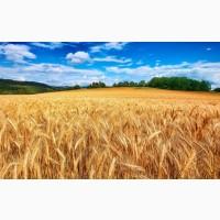 Закупаем пшеницу, семечку, сою, кукурузу, рапс. Вся Украина
