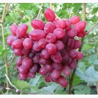 Породам саженцы Винограда