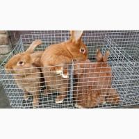 Кролі породи новозеландська червона