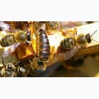 Куплю пчелопакети