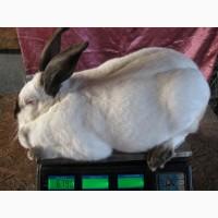 Продам елітних кроликів породи Каліфорнійська біла
