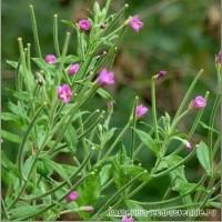 Куплю кипрей дрібноквітковий( Epilobium parviflorum ), зніт, кипрей мелкоцветковый
