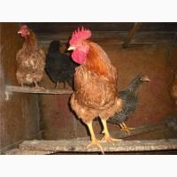 Приобретайте яйца для инкубации отменного качества породы Фокси Чик