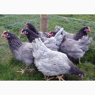 Цыплята ДОМИНАНТ куры суточные запись на 28.06
