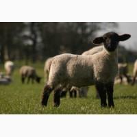 Продам овец романовская порода 300 голов
