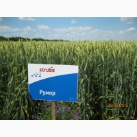 РУМОР (ШТРУБЕ, Німеччина) актуальний сорт ранньої озимої пшениці, інтенсивного типу