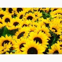 Оптова закупка соняшника. Західний регіон України