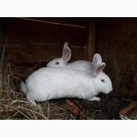 Продам кроликів панон