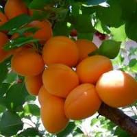 Продам оптом саженцы абрикоса в Киеве