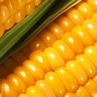 Семена кукурузы на крупу и кукурузную муку, новый гибрид РАМ 3153 ФАО 250