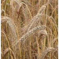 Семена ржи (жито) озимой Синтетик 38