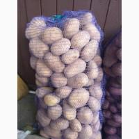 Продам картофе сорта саньява, королева анна, ред скарлет и др