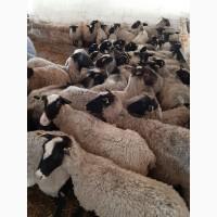 Продам овцы бараны романовские