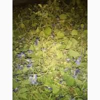 Куплю траву фіалки запашної з цвітом