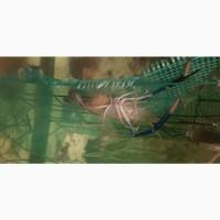 Продам личинки прісноводної креветки Macrobrachium rosenbergii