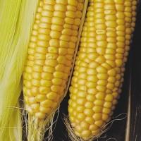 Семена кукурузы ДКС 3711 ФАО 280 (DKC 3711) от Монсанто