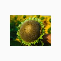 Семена подсолнечника Равелин (гранстар) от производителя. 2020 год, документы