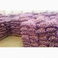Насінева картопля
