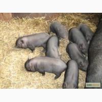 Продам в.єтнамські поросята (свинки, вепрі)