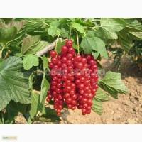 Продам саженцы красноплодной смородины