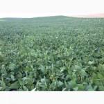 Продам насіння соі під раундап с Аполло та сорти Венус і Алігатор ( не ГМО)