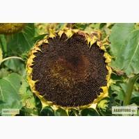 Семена подсолнечника НК Рокки