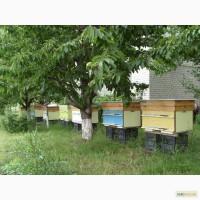Пчелосемьи, 5 шт