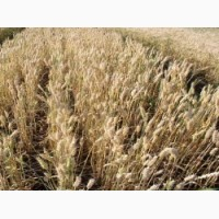 Семена озимой пшеницы Зира