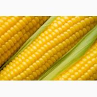 Организация закупает кукурузу