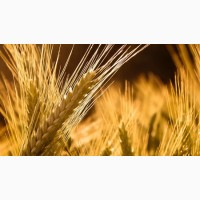 Принимаем сельхозпродукцию по всем регионам (Пшеницу) ПОСТОЯННО