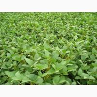 Продаємо насіння сої ЕС Ментор, 1 репродукція