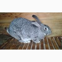 Продам кроликов породы советская шиншилла