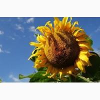 Продаємо насіння соняшнику Кардинал