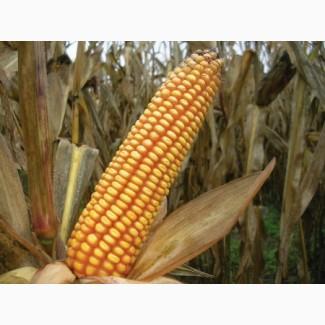 Семена кукурузы Оржиця, Любава, Солонянский