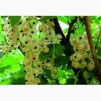Смородина белая Zitavia (Голландия)