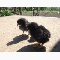 Продам суточні курчата Тетра