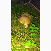 Продам гриб білий свіжий