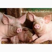 Проводимо закупівлю домашніх свиней та худоби. Дорого.Тернопільська, Хмельницька, Вінницька