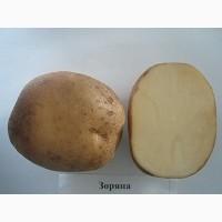 Продам картофель семенной от производителя