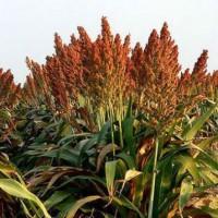 Суданская трава сорта Мироновская и Голубовская