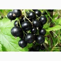 Продам ягоды черной смородины