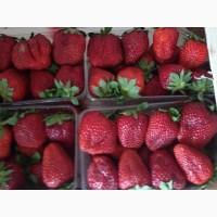 Продам клубнику сорт Альбион с доставкой по Украине