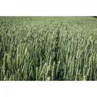 Насіння пшениці 2019року НС 40С (NS SEME, протруєна протруйником Ламардор) мішок 25кг