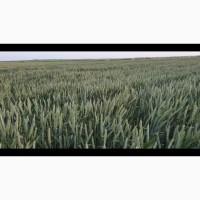 Семена озимой пшеницы MASON 1репродукция посевная