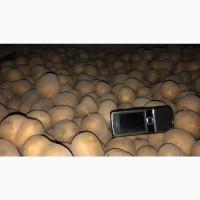 Семенной картофель 3-й репродукции, сорт Эволюшн; сифра; бернадетта